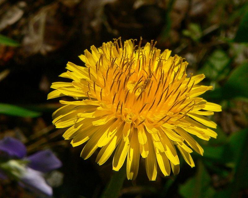 flori de papadie