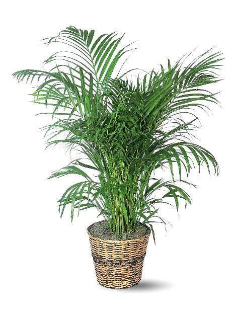 palmier bambus