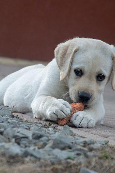 hrană pentru câine