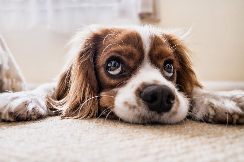 castrarea și sterilizarea câinilor